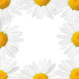 Daisies border Royalty Free Stock Image
