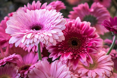 Daisies bouquet. Beautiful coloured pink daisies bouquet background Royalty Free Stock Photography