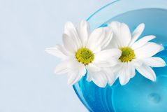Daisies in a bowl Royalty Free Stock Images