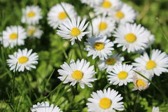 Daisies. A bunch of beautiful daisies royalty free stock image