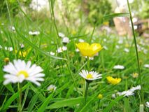 Daisies and buttercup Stock Photography
