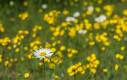 Daisies and Buttercups Stock Photos