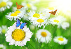 Daisies with butterflies Royalty Free Stock Photo