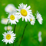 Daisies. Camomiles against green defocused background Stock Photography