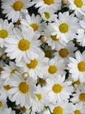 Daisies. Royalty Free Stock Photo