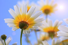 Daisies, Chamomile Royalty Free Stock Photos