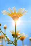 Daisies, Chamomile Stock Images