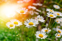 Daisies (chamomiles) Stock Photography