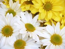 Daisies - chrysanthemum maximum stock image