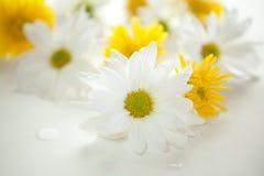 Daisies & chrysanthemums. White daisies and yellow chrysanthemums - shallow DOF Royalty Free Stock Photo