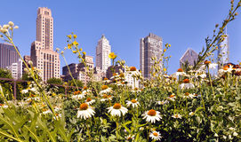 Daisies in the city Stock Image