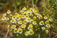 Daisies on a clearing among the green grass. The flowers are close-up. stock image