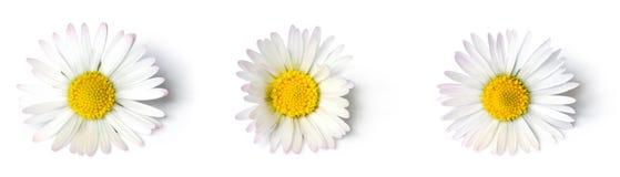 Daisies close-up Stock Photos