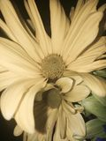 Two daisies close up. Close up of two daisies in a yellow toned black and white Stock Photos