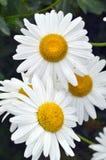Daisies. Close up of big daisies royalty free stock images