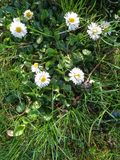 Daisies close up in the grass. Daisie - Bellis perennis is native to western, central and northern Europe widely naturalised in most temperate regions Stock Images