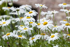 Daisies. Close up of spring white daisies in a field. Peace, serenity, purity concepts Stock Images
