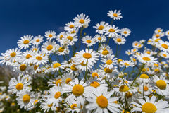 Daisies. Royalty Free Stock Image