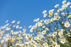 Daisies. Royalty Free Stock Photography