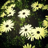 Daisies Stock Images