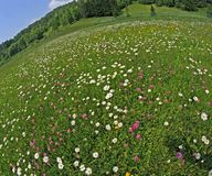 Daisies and clovers blooming. In mountain meadow stock image