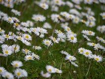 Daisies. Common daisies (Bellis perennis) growing in Ireland Stock Photos