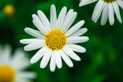 Daisies. Completely open, very beautiful stock images