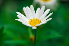 Daisies. Completely open, very beautiful stock photos