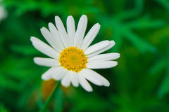 Daisies. Completely open, very beautiful royalty free stock photography