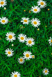 Daisies. Completely open, very beautiful stock photo