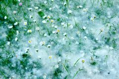 Daisies and cottonwood fluff Stock Image