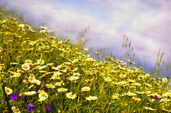 Daisies countryside Royalty Free Stock Photo