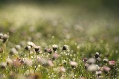 Daisies. In the morning light Royalty Free Stock Image