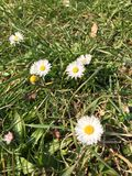 Daisies. Daisy on a meadow Royalty Free Stock Photo