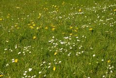 Beautiful green wild flower meadow in Spring stock photos