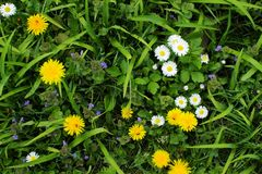 Daisies and dandelions Royalty Free Stock Photo