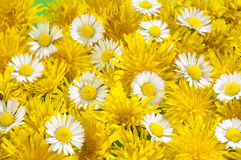 Daisies and  dandilions Royalty Free Stock Photography
