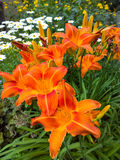 Daisies and Day Lilies. Garden of day lilies and daisies in full bloom stock image