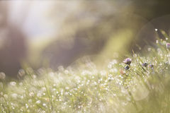Daisies in the dewy grass Stock Images