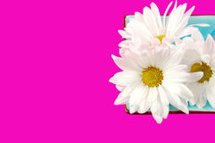 Daisies in a Dish. Bright daisies in a blue dish with pink background stock image