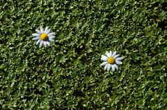 Daisies on duckweed. Two flowers of daisies on duckweed royalty free stock photo