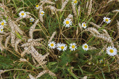 Daisies and ears of rye in the field Stock Photo