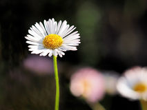 Daisies - Erigeron-karvinskianus. Hardy little daisies growing out of cracks in rock walls Stock Photos