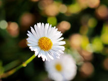 Daisies - Erigeron-karvinskianus. Hardy little daisies growing out of cracks in rock walls Royalty Free Stock Photos