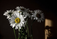 Daisies. A few daisies in evening sun and shadow on wall Stock Photography