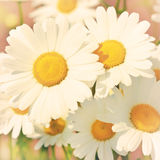 Daisies in a field Royalty Free Stock Photo