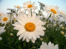 Daisies In The Field stock images
