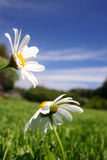 Daisies in Field royalty free stock photos
