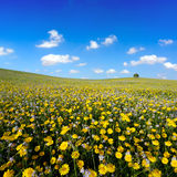 Daisies  field. Yellowy daisies  field under  blue sky Stock Photography