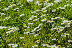 Daisies field Stock Images